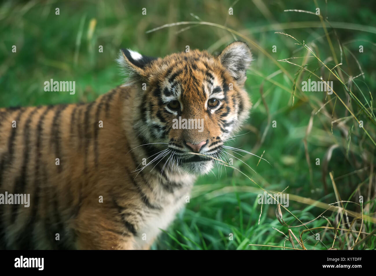 White Tiger Cub Wildlife Stock Photos & White Tiger Cub ...