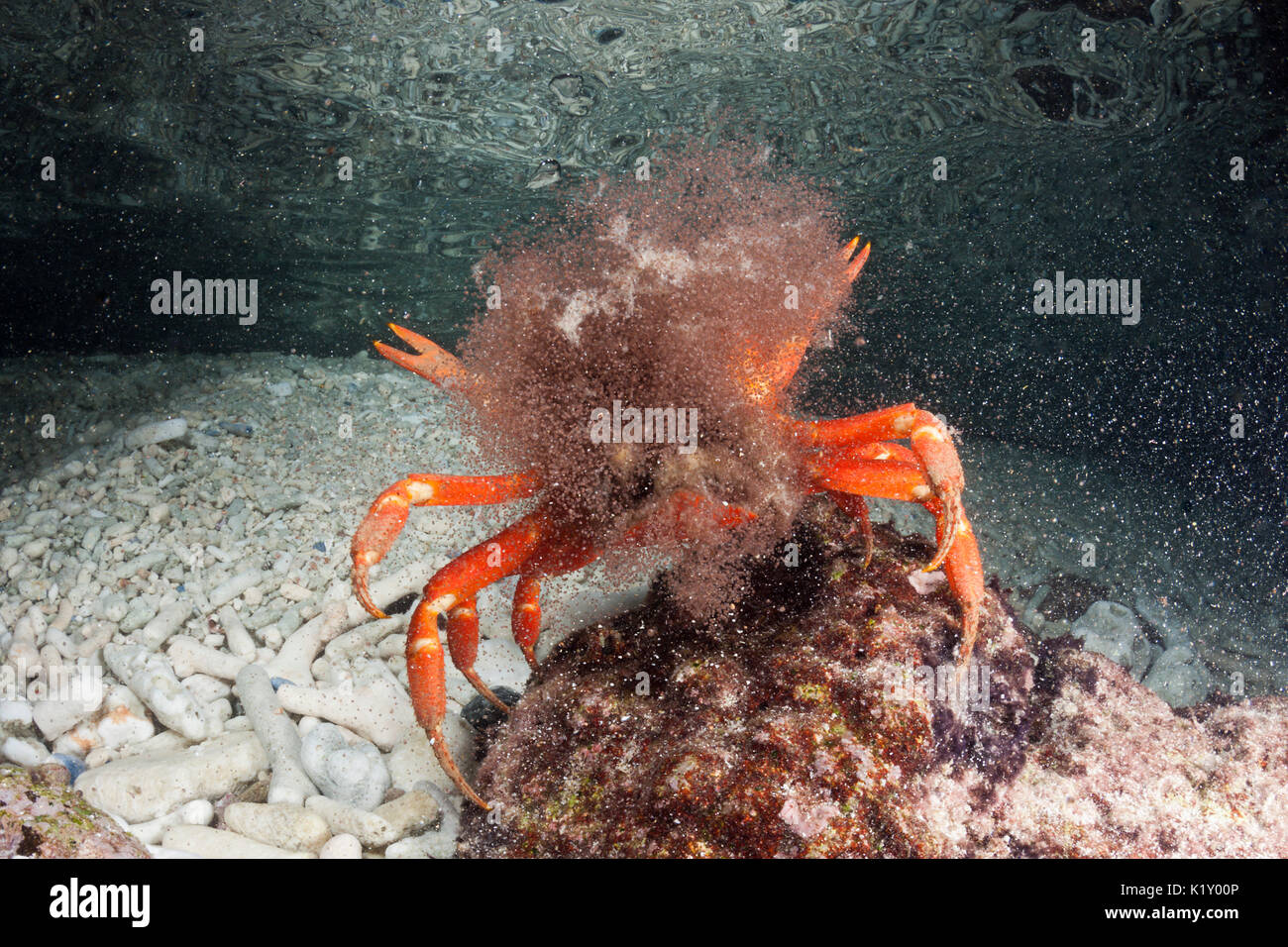 Christmas Island Red Crab Release Eggs Into Ocean Gecarcoidea Stock