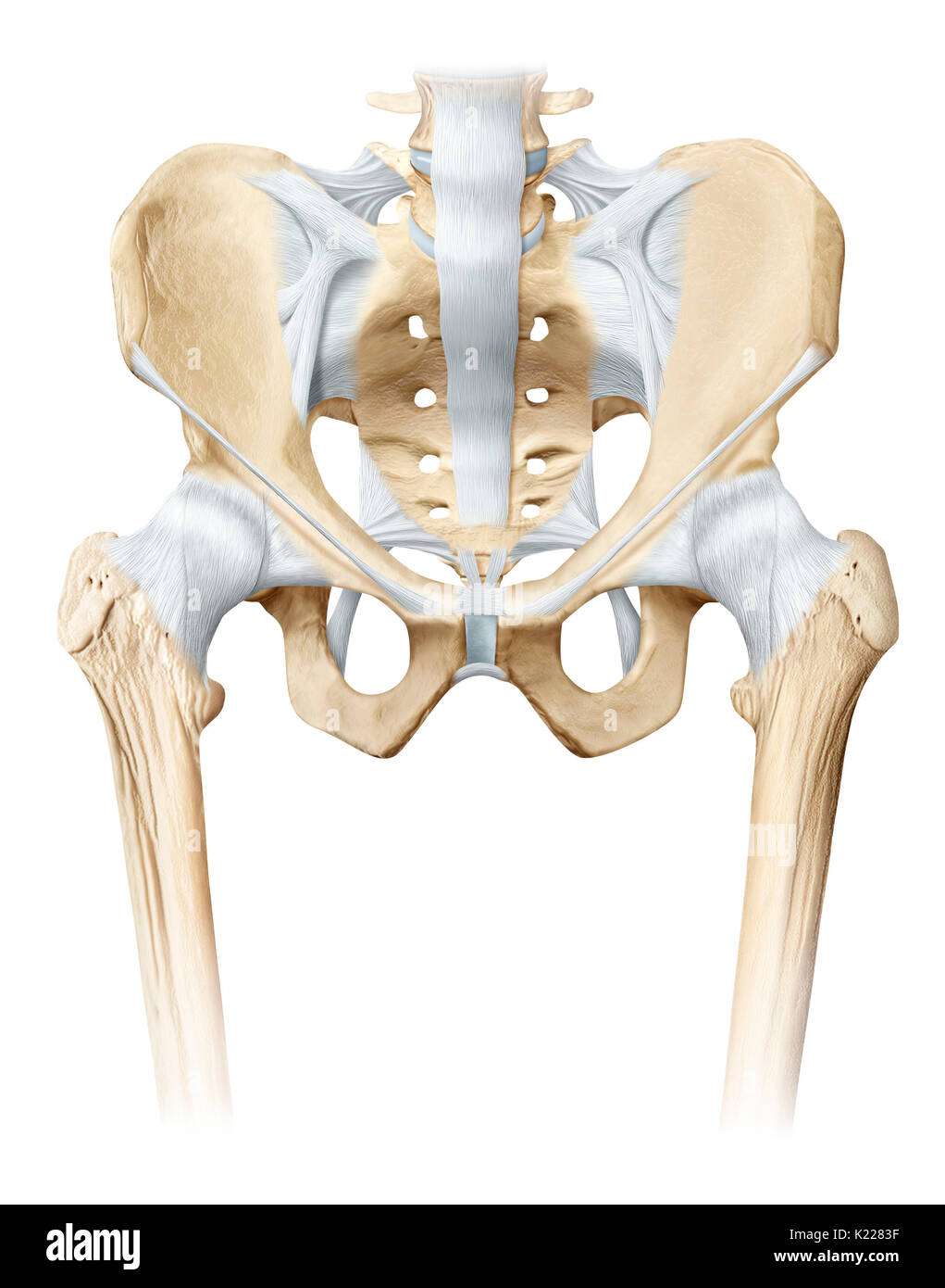 The Hip Is The Synovial Joint That Connects The Femur To The Iliac