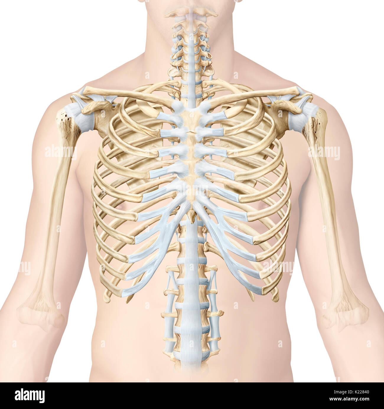 The Sternocostal Joints Are The Cartilaginous Joints That Connect