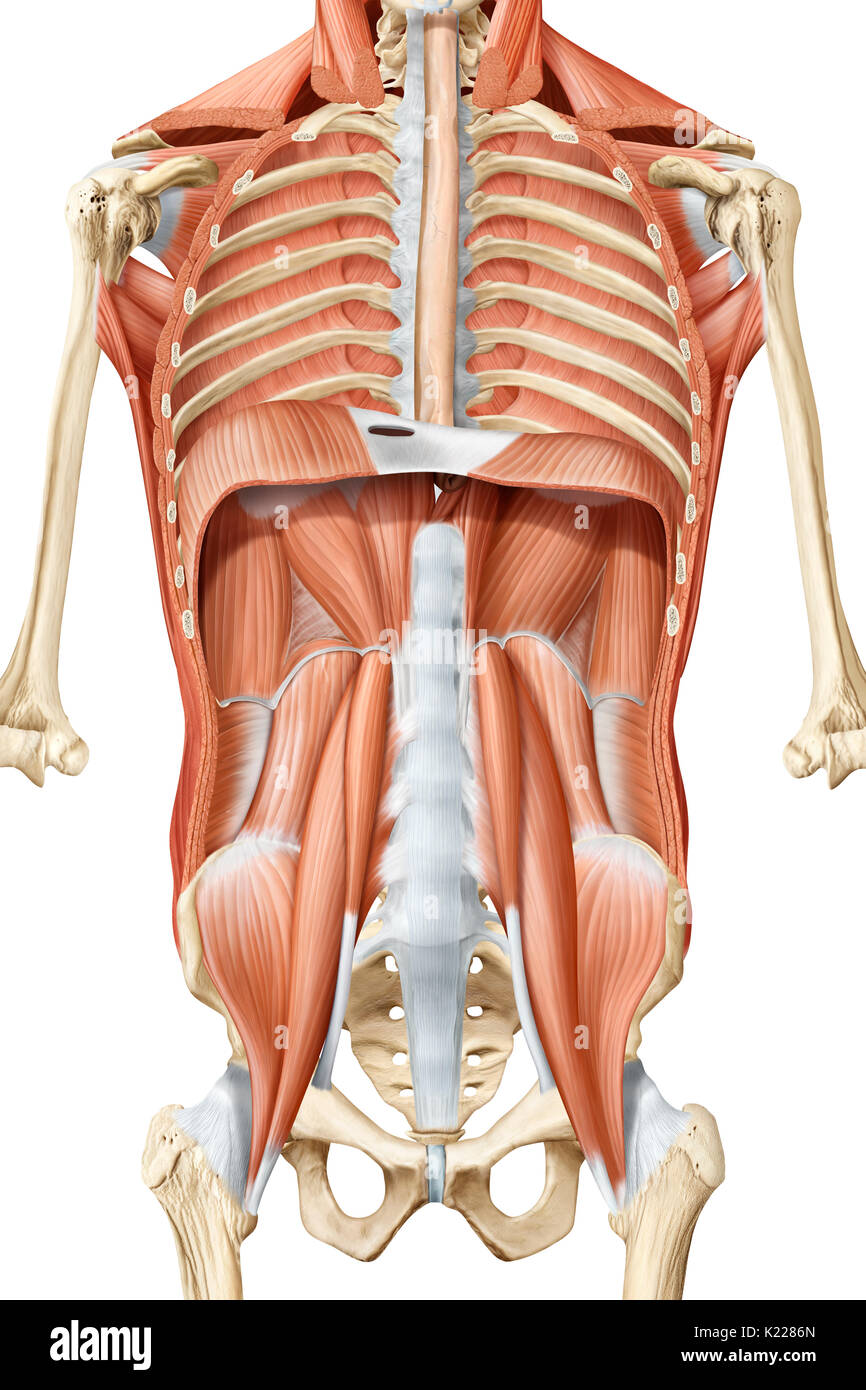 this image shows an anterior view of the deep muscles of the trunk