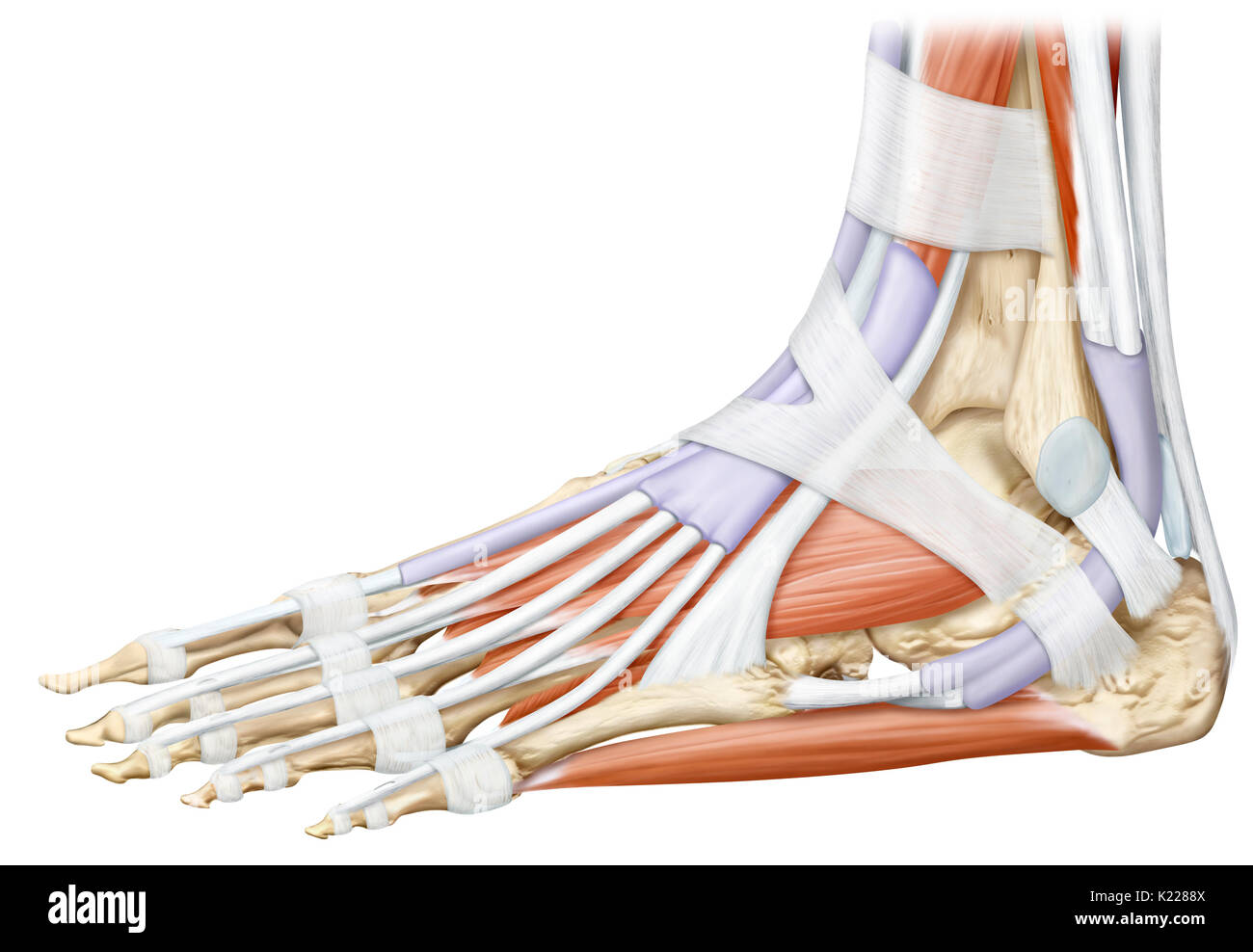This image shows a lateral view of the muscles of the foot Stock ...