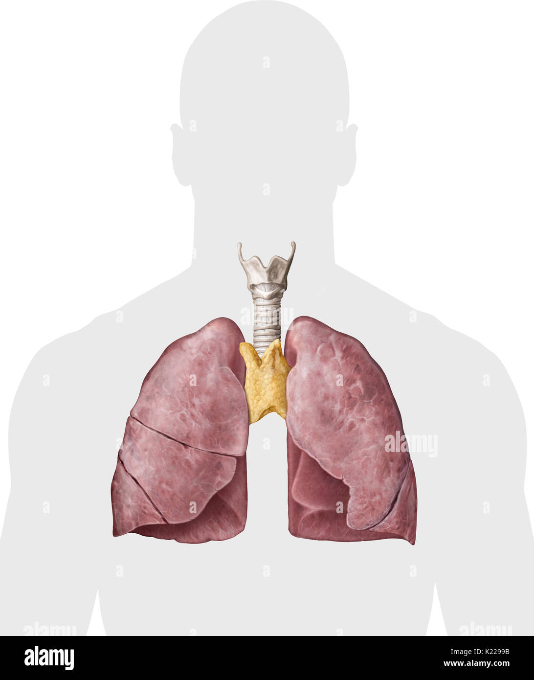 This Image Shows The Trachea The Thymus And The Lungs Stock Photo