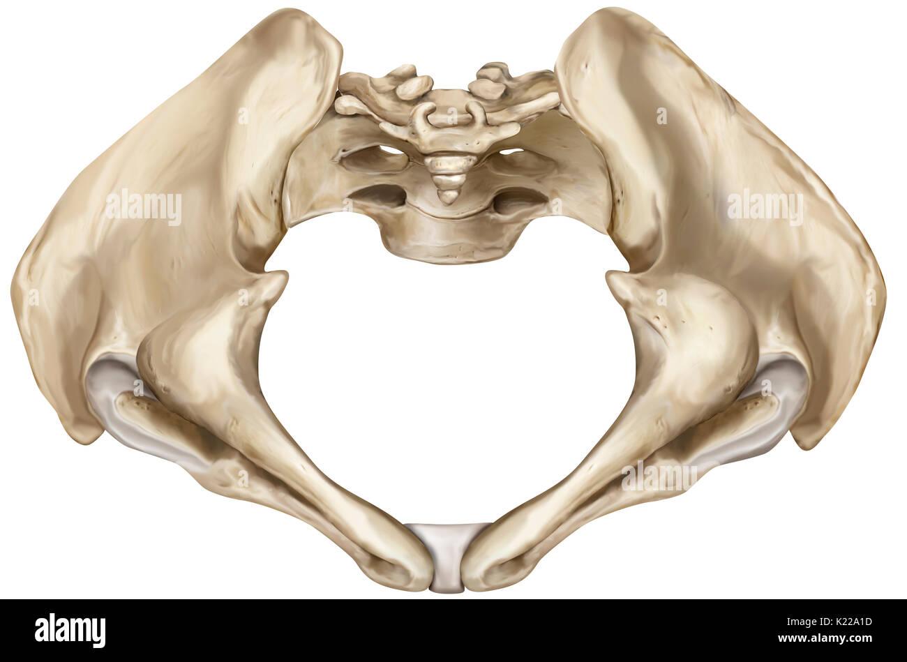 Bony Girdle Consisting Of The Sacrum Coccyx And Two Iliac Bones