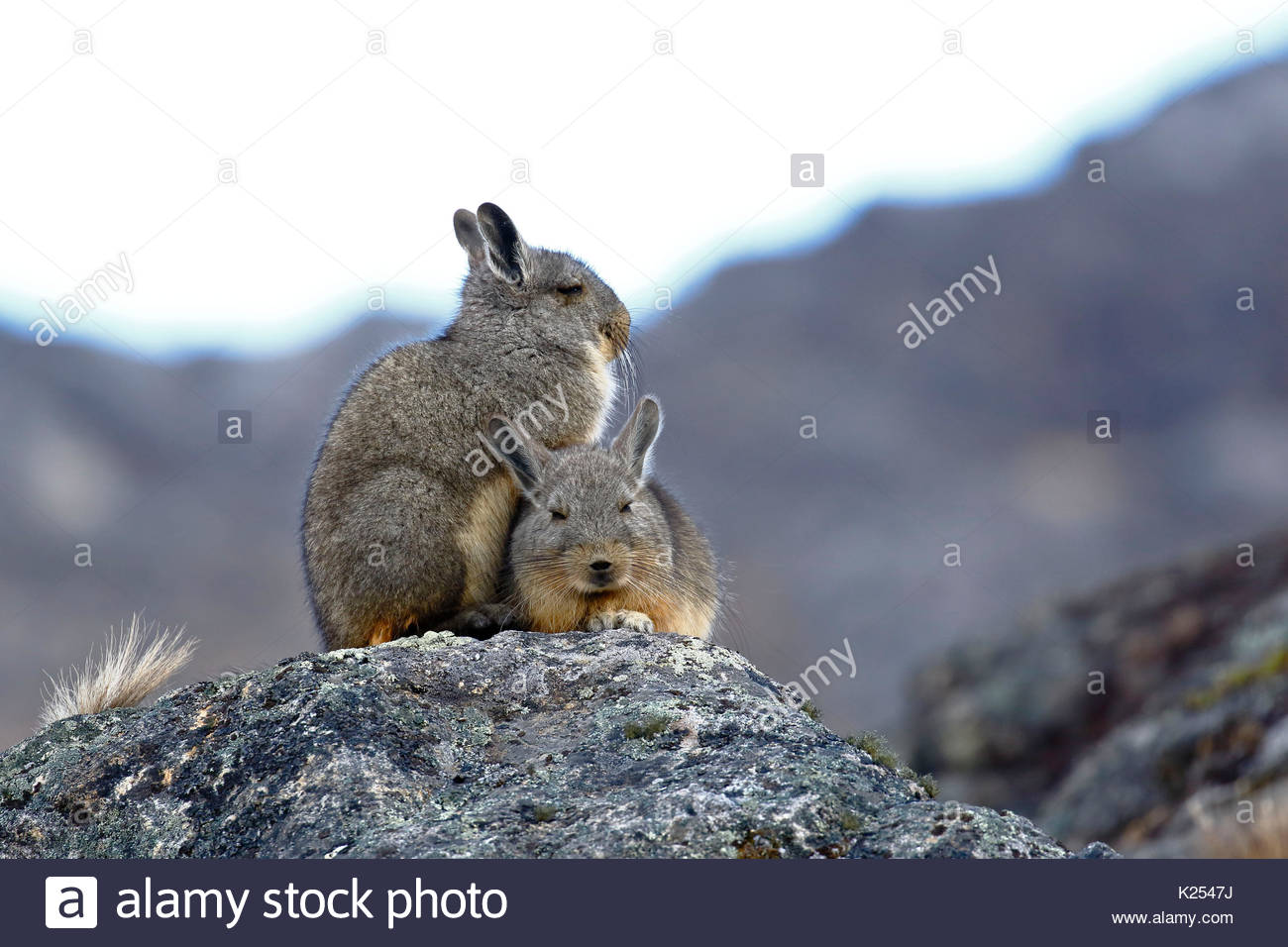 mountain viscacha stock photos mountain viscacha stock images alamy. Black Bedroom Furniture Sets. Home Design Ideas