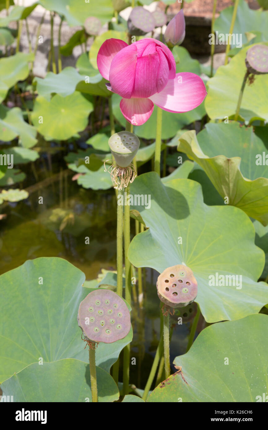Lotus Flower Nelumbo Nucifera And Seed Pods Uk Stock Photo