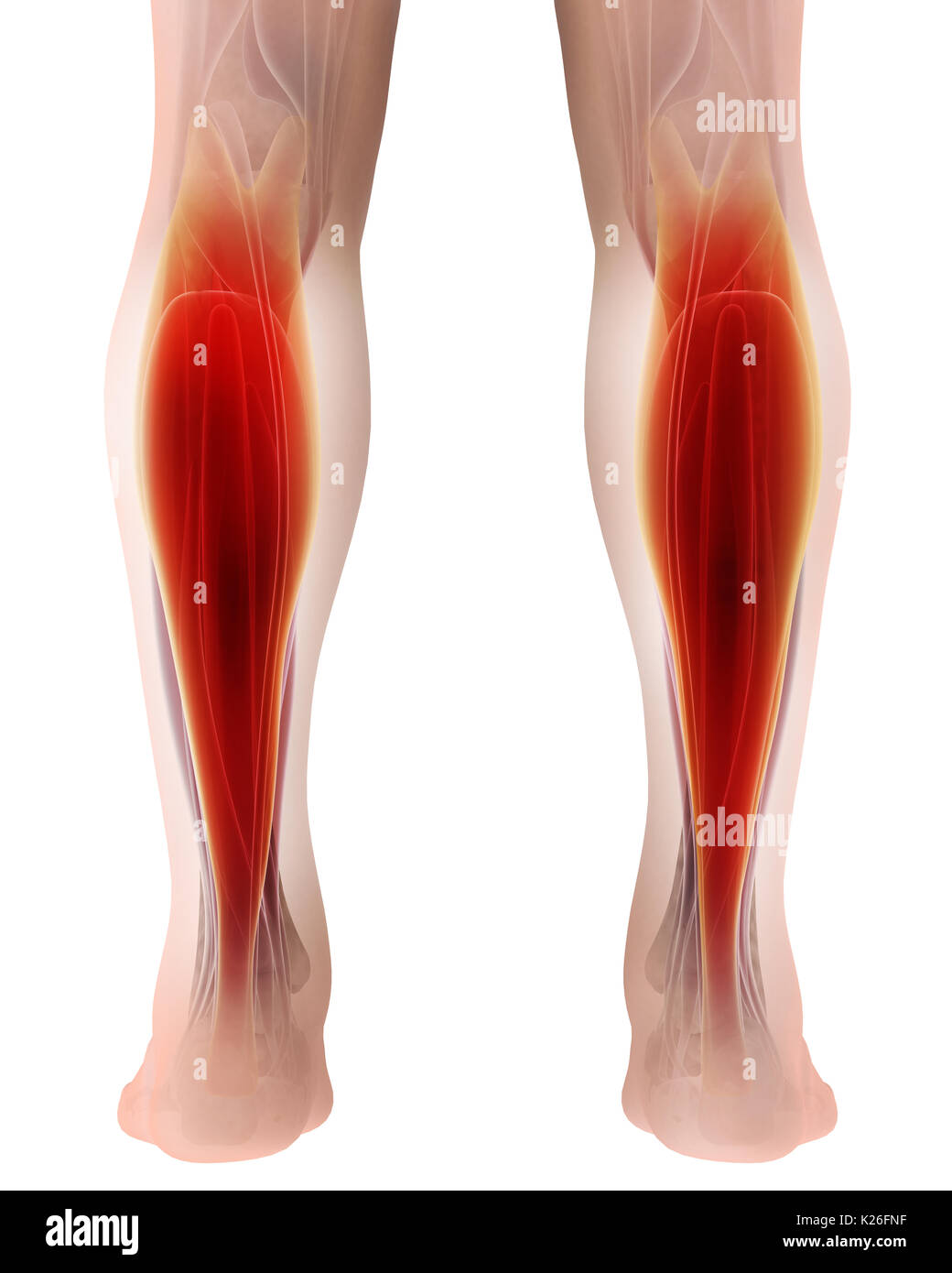 3D illustration of gastrocnemius, Part of Legs Muscle Anatomy Stock ...
