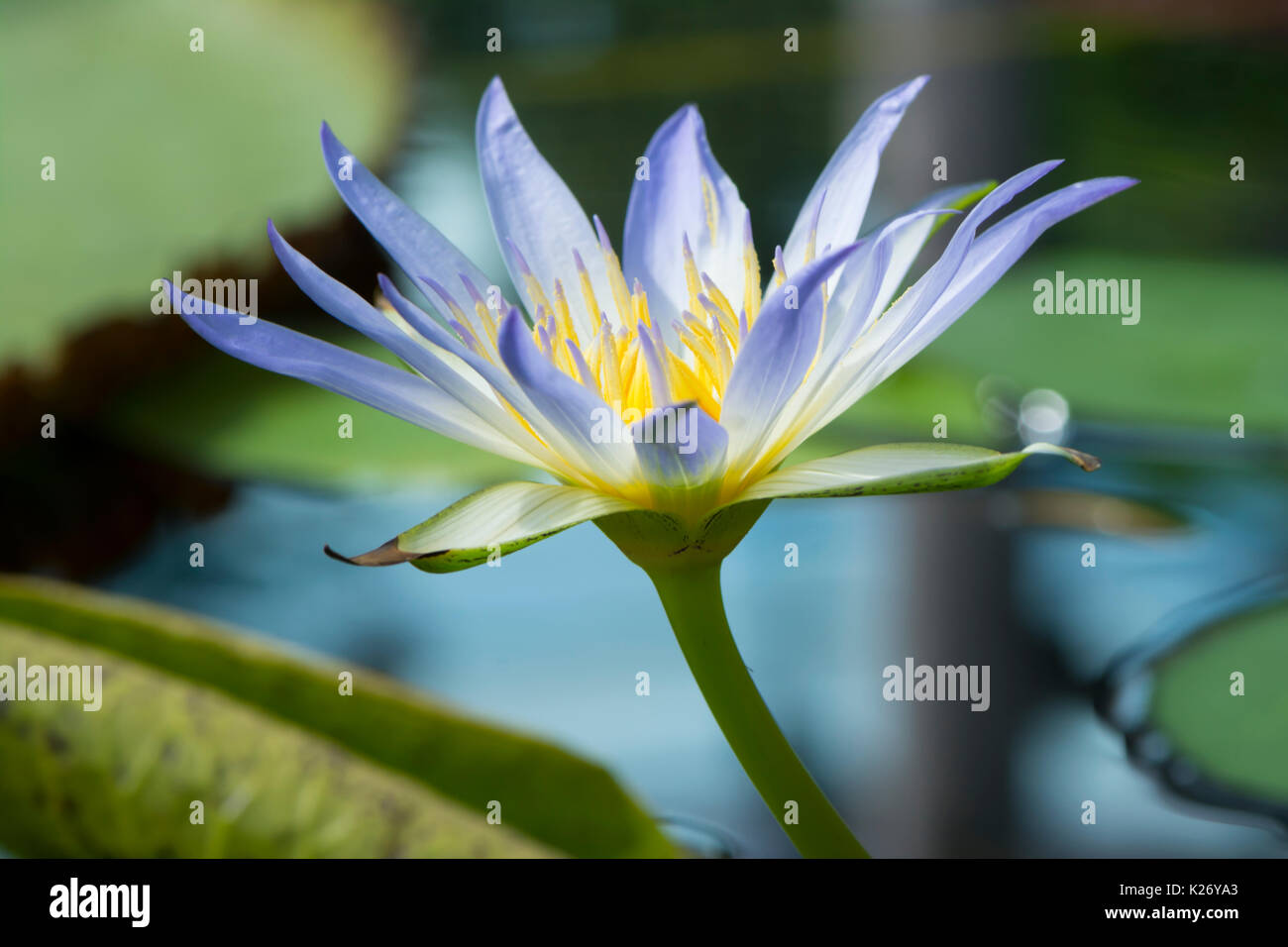A Single Nymphaea Caerulea Blue Lotus Of Egypt Flower Head In
