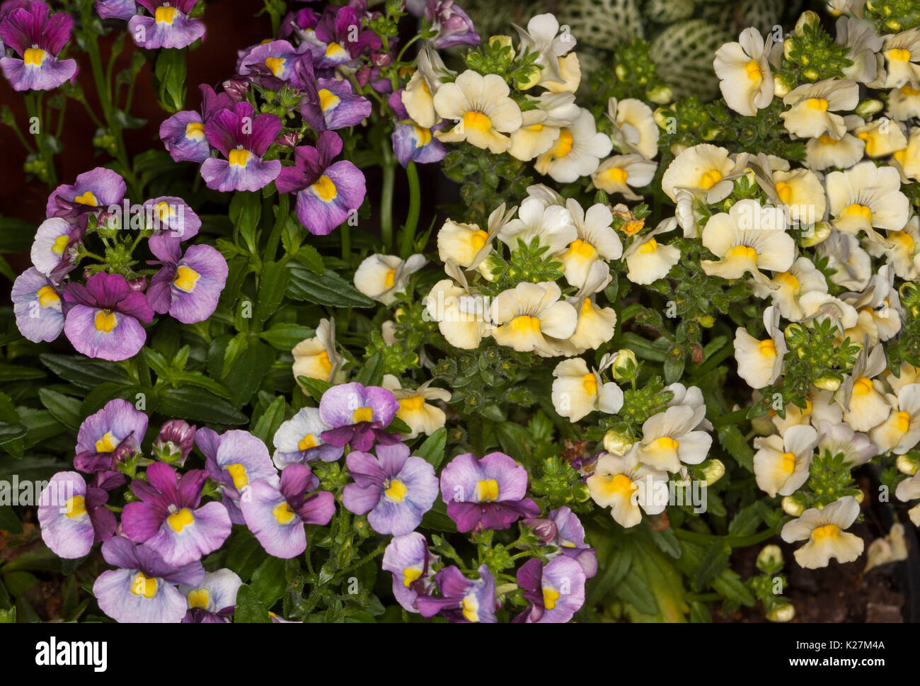 Cluster Of Flowers In Contrasting Colours Yellow And Purple Flowers