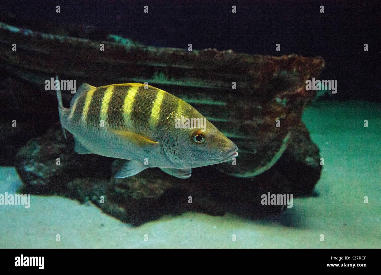 graybar grunt fish haemulon sexfasciatum actually make pig like