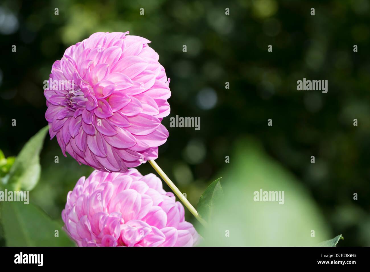 Two Light Pink Bracken Sequel Dahlia Flowers Growing In A Natural
