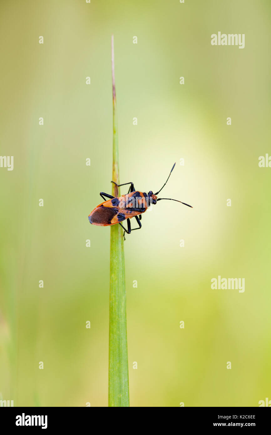 Red black shield bug  insect Pentatomidae on a green leaf  macro view   shallow. Small Green Black Bug Insect Stock Photos   Small Green Black Bug