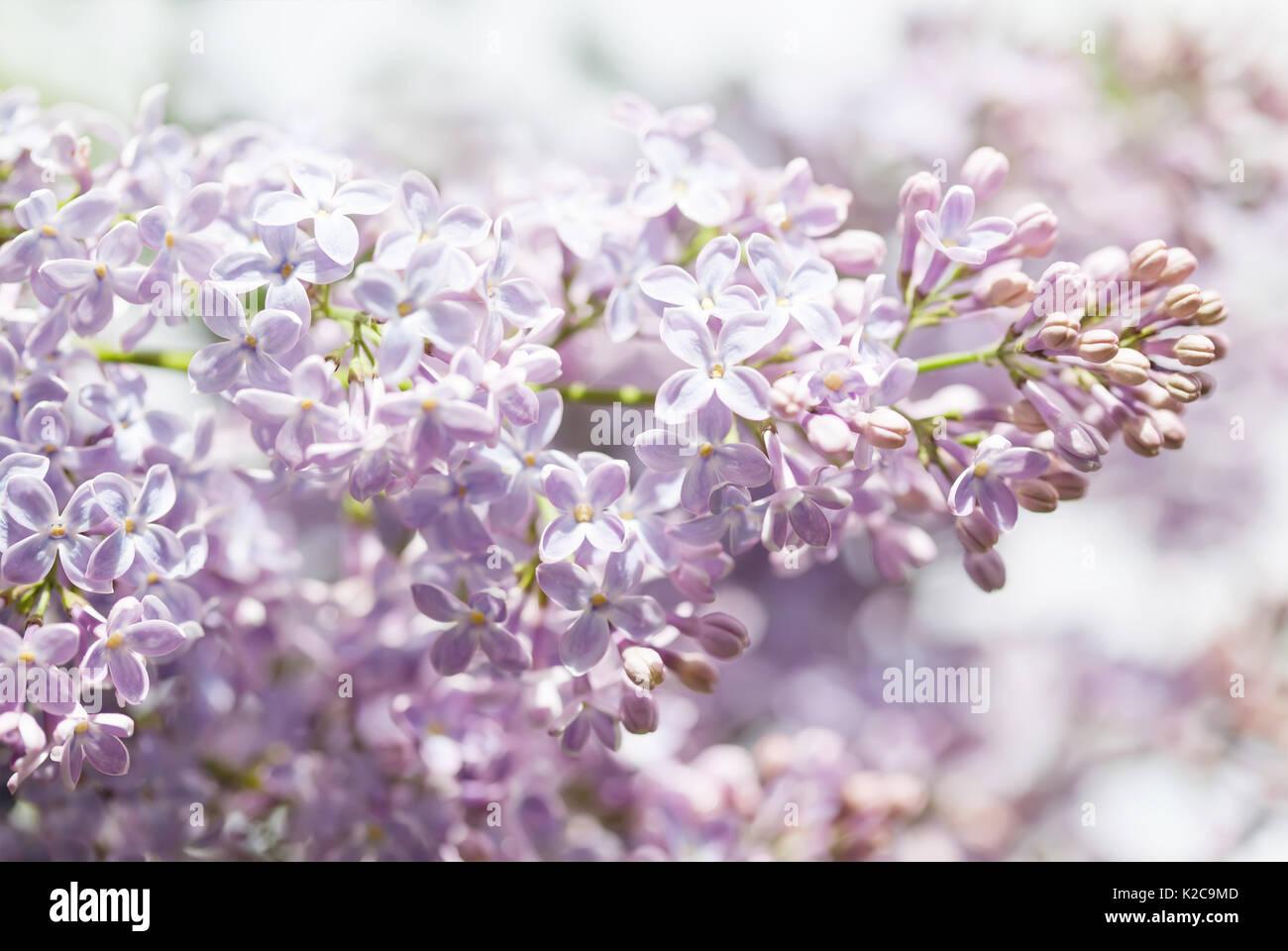 Pink Flowers Spring Background Lilac Bush Closeup Soft Focus Stock