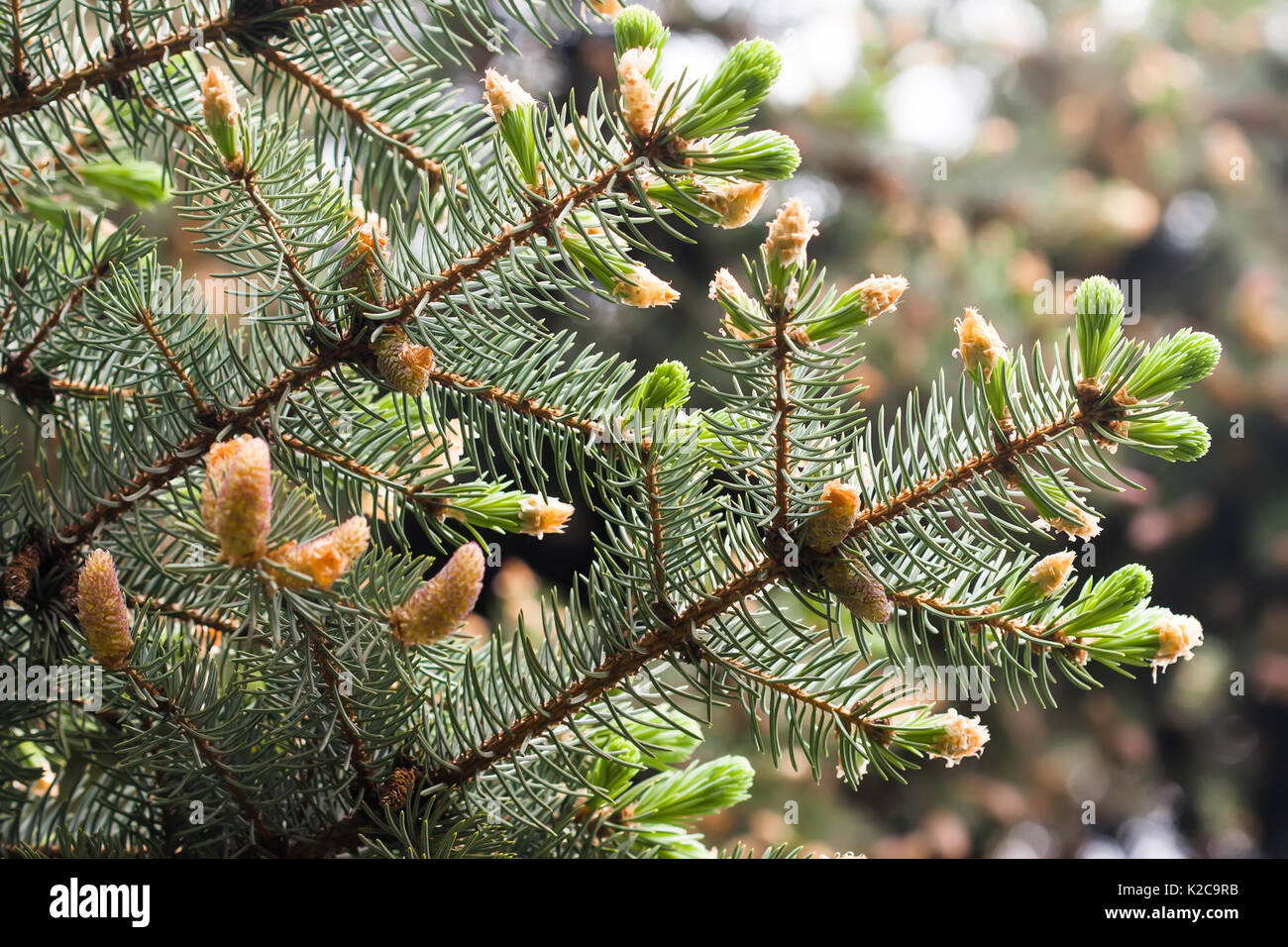 Norway Pine Stock Photos & Norway Pine Stock Images - Alamy Evergreen Branch