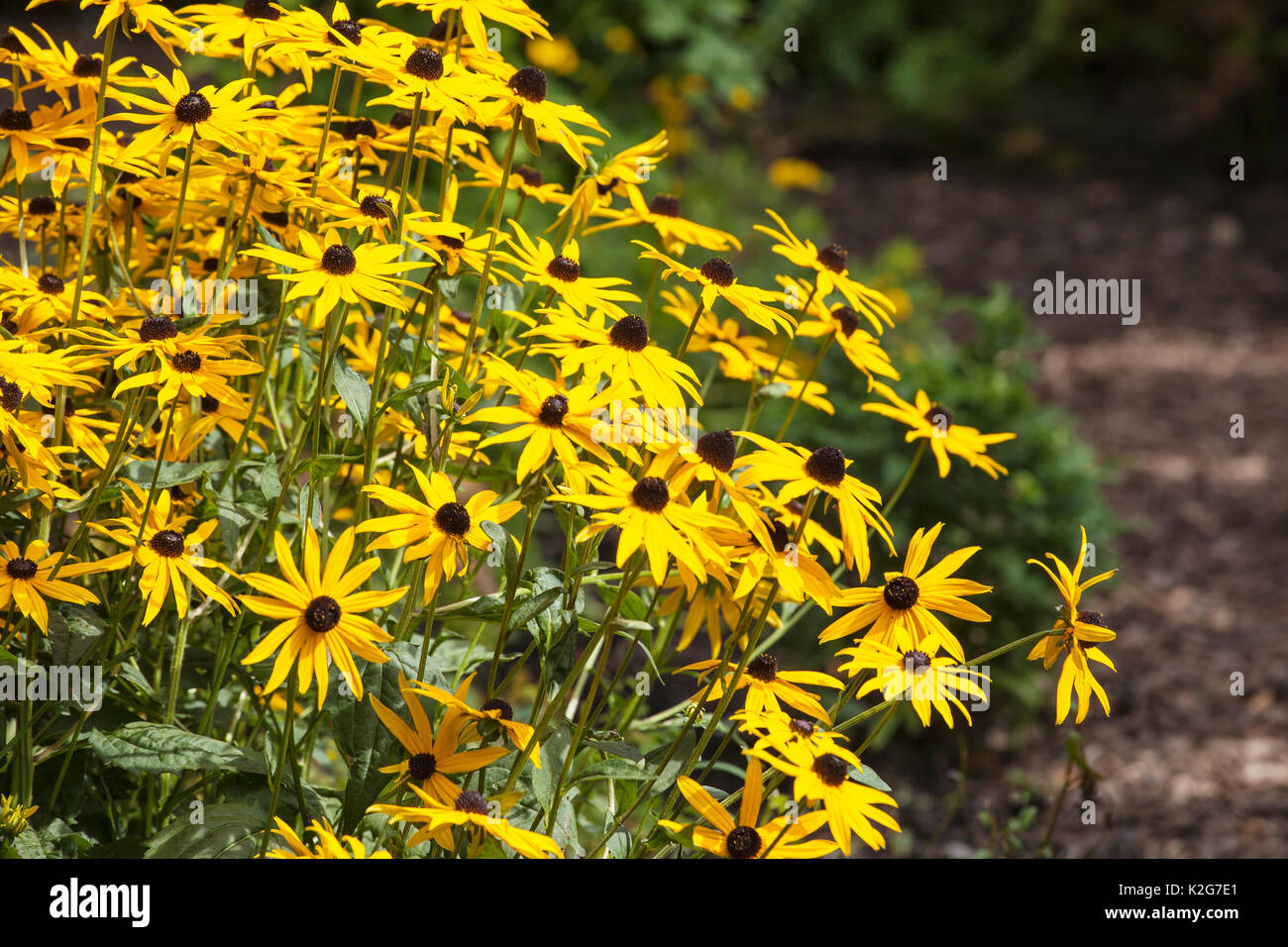 Bright yellow garden perennial flowers rudbekia stock photo royalty bright yellow garden perennial flowers rudbekia mightylinksfo