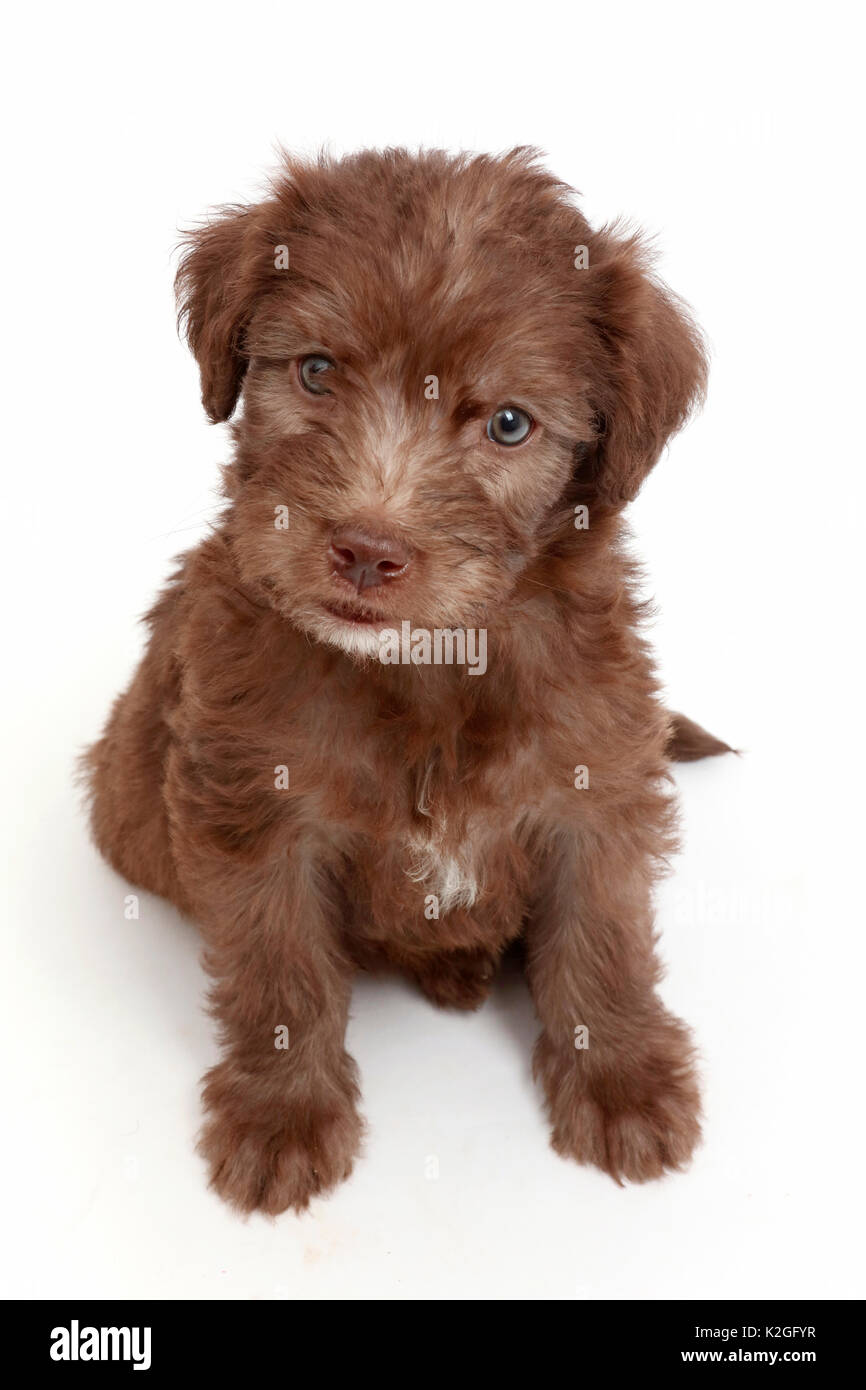 Chocolate Labradoodle Puppy Stock Photo 156486395 Alamy