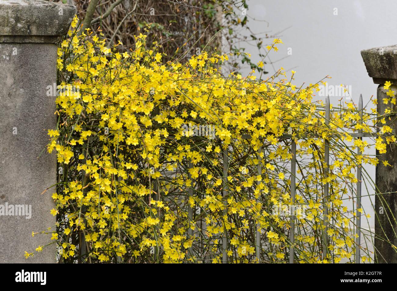 flowers of jasminum nudiflorum stock photos flowers of jasminum nudiflorum stock images alamy. Black Bedroom Furniture Sets. Home Design Ideas