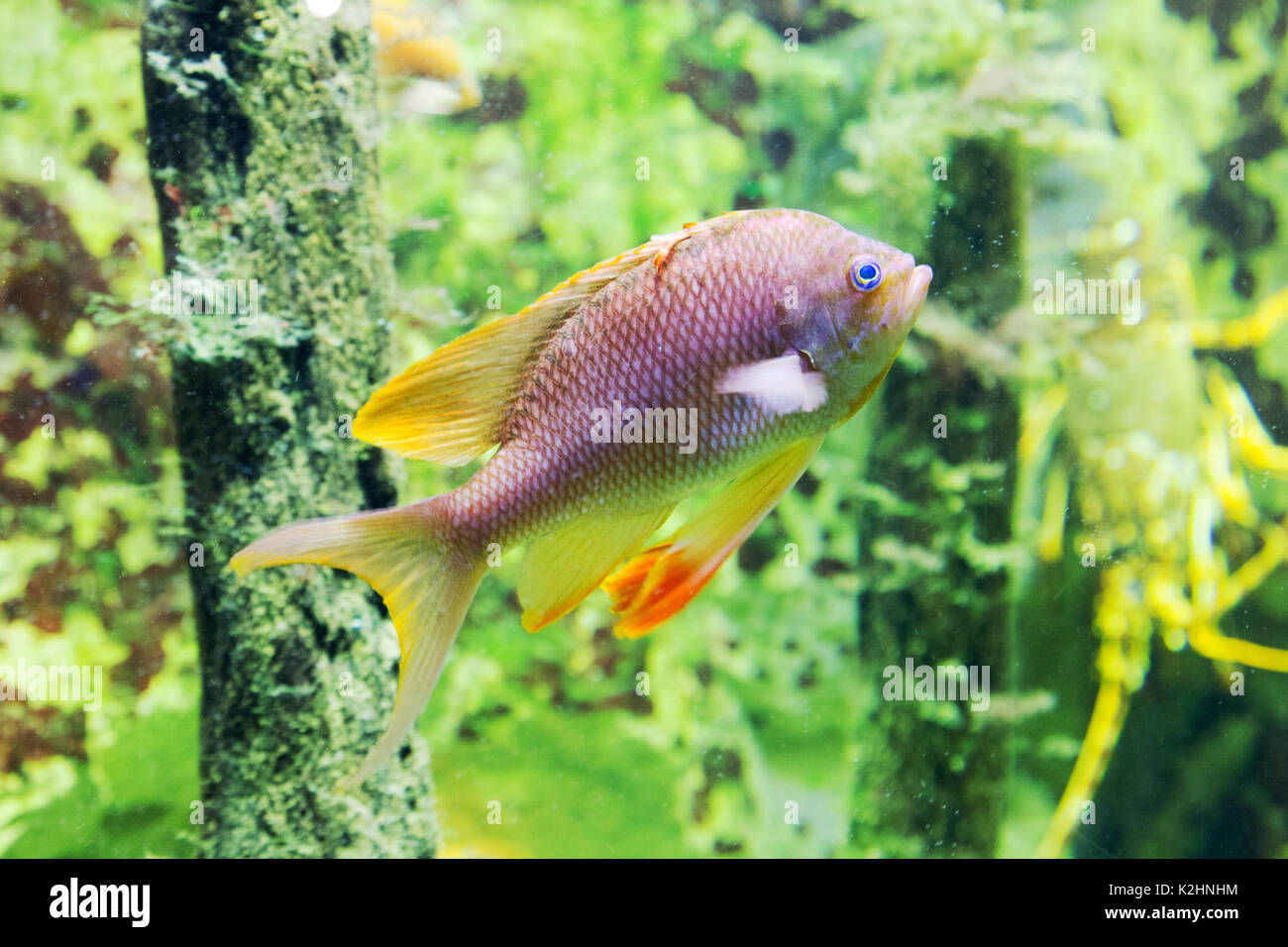 Fish perch stock photos fish perch stock images alamy for Ocean perch fish