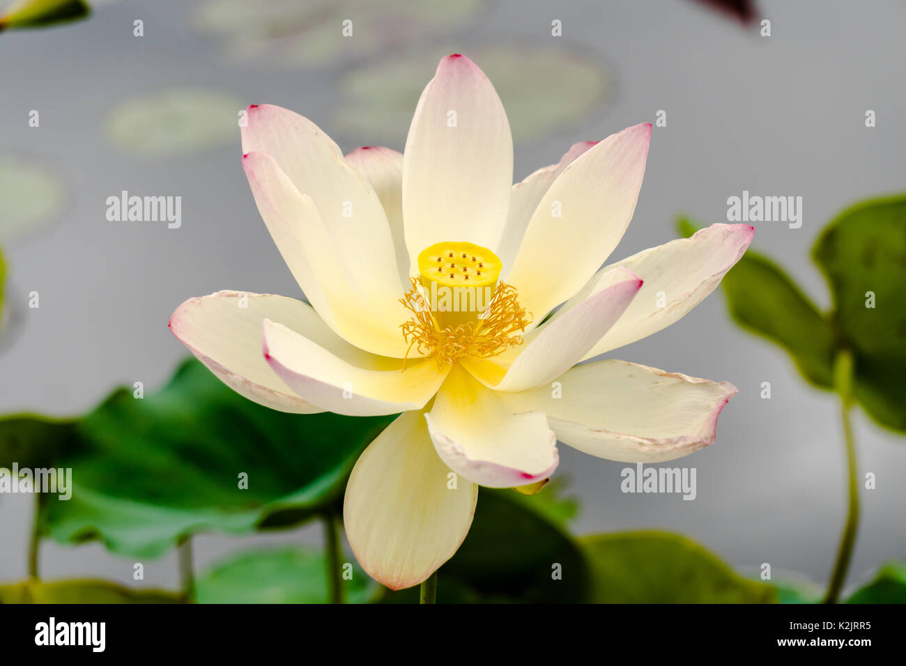 Single White Yellow And Pink Lotus Flower In A Pond Stock Photo