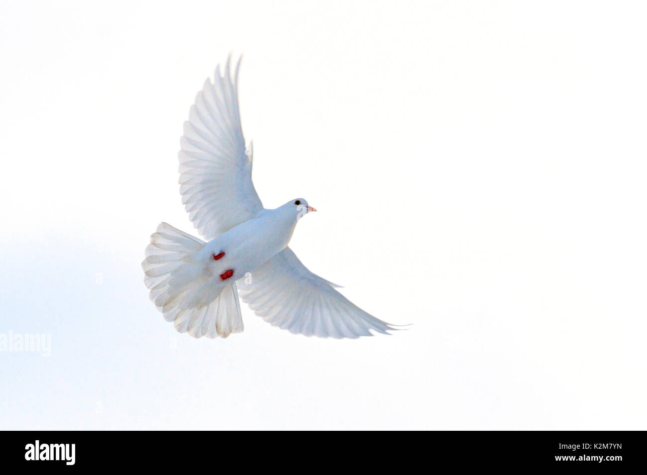 Symbol Of Freedom A White Dove In Pastel Colors Symbol Of Religion