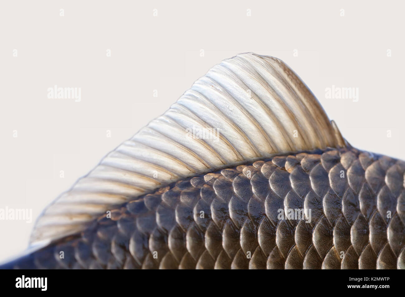 Lateral line stock photos lateral line stock images alamy for Fish with scales and fins