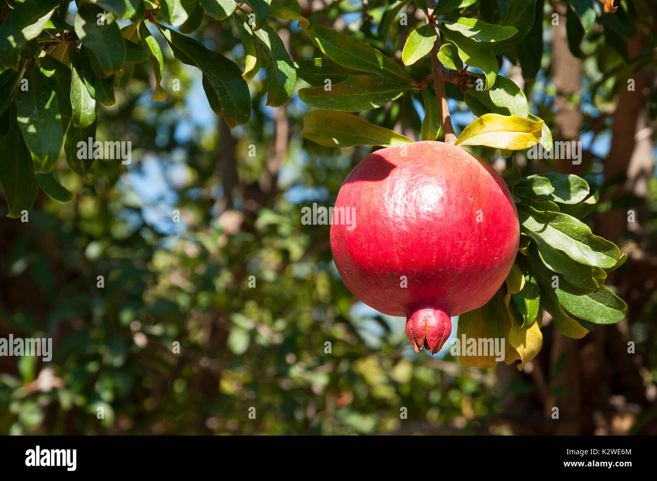 how to grow pomegranate from fruit