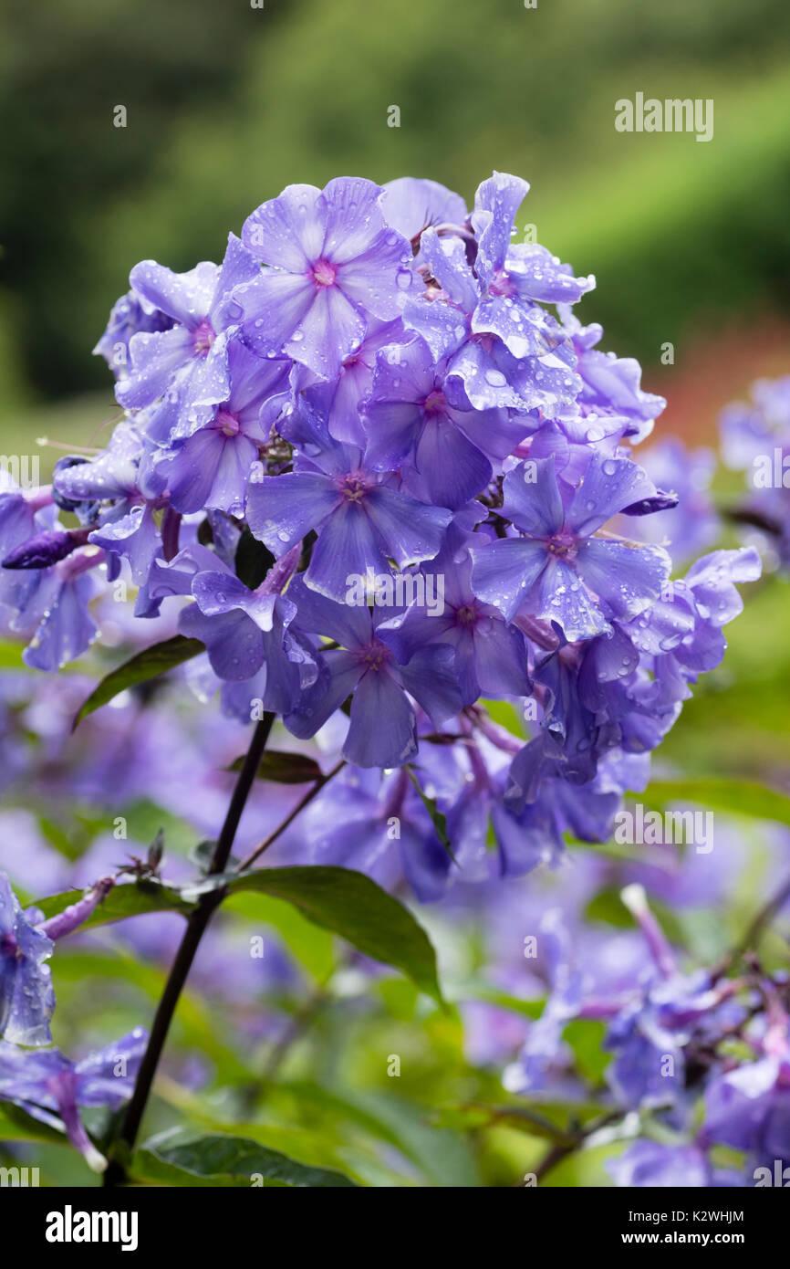 Rain wet late summer flowers of the fragrant perennial phlox stock rain wet late summer flowers of the fragrant perennial phlox paniculata blue paradise mightylinksfo