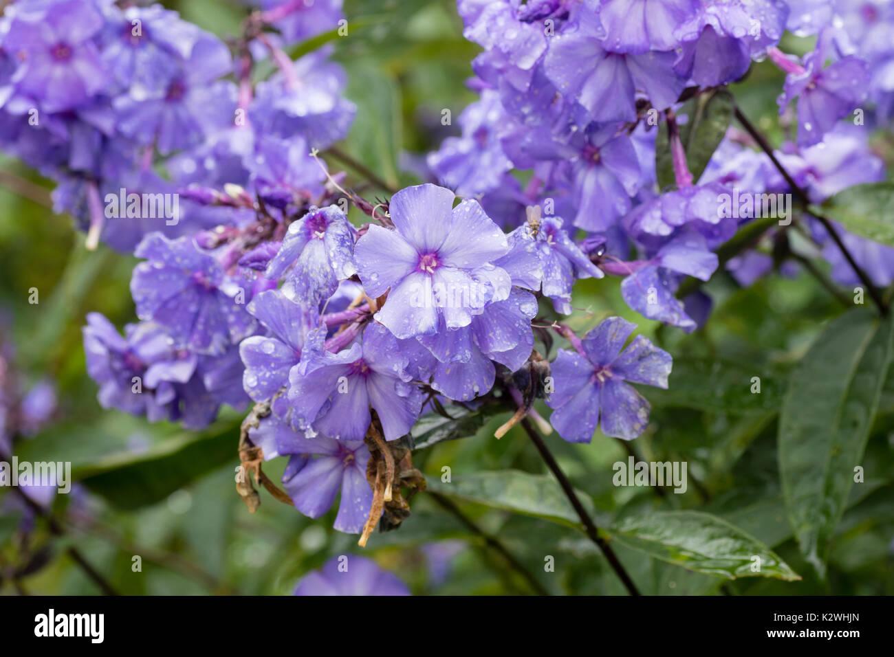 Perennial Phlox Stock Photos Perennial Phlox Stock