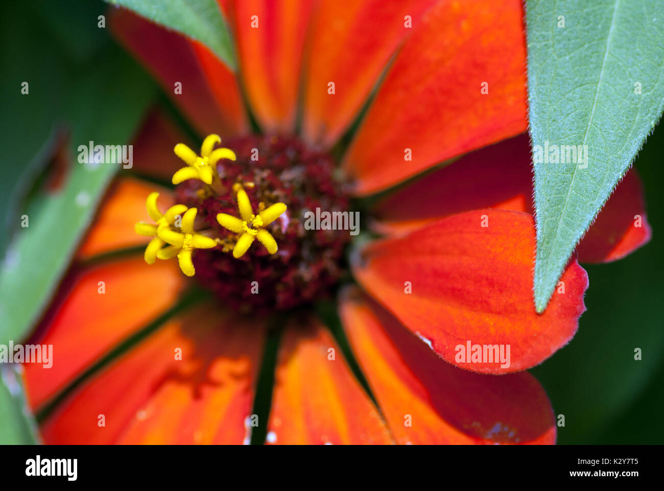 Tiny Yellow Flowers Growing Out Of A Wide Red Flower Stock Photo