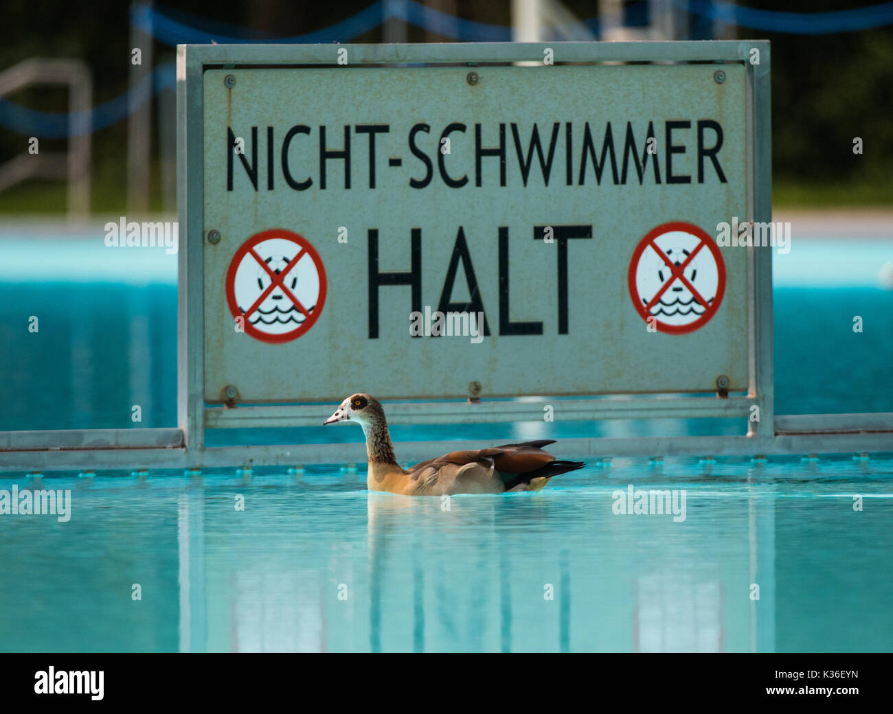 Frankfurt Swimming Pool frankfurt germany 01st sep 2017 an goose is swimming in