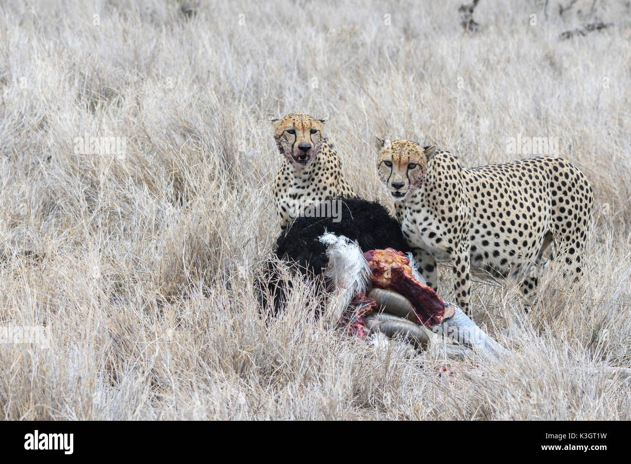 Cheetahs hunting ostrich