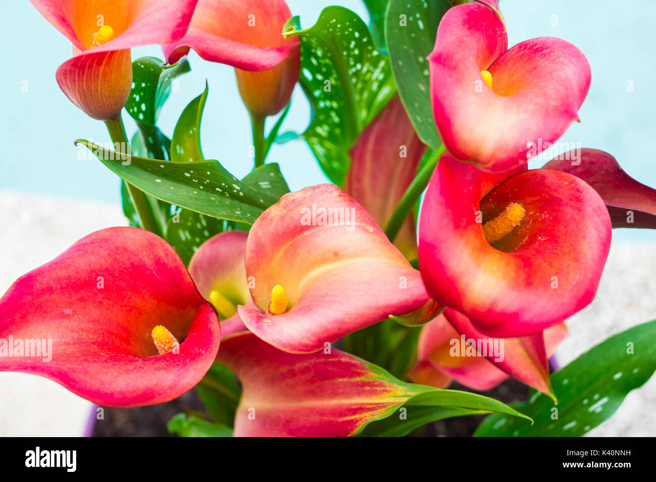 Red calla lilies flowers on a flowerpot stock photo 157369005 alamy red calla lilies flowers on a flowerpot izmirmasajfo Image collections