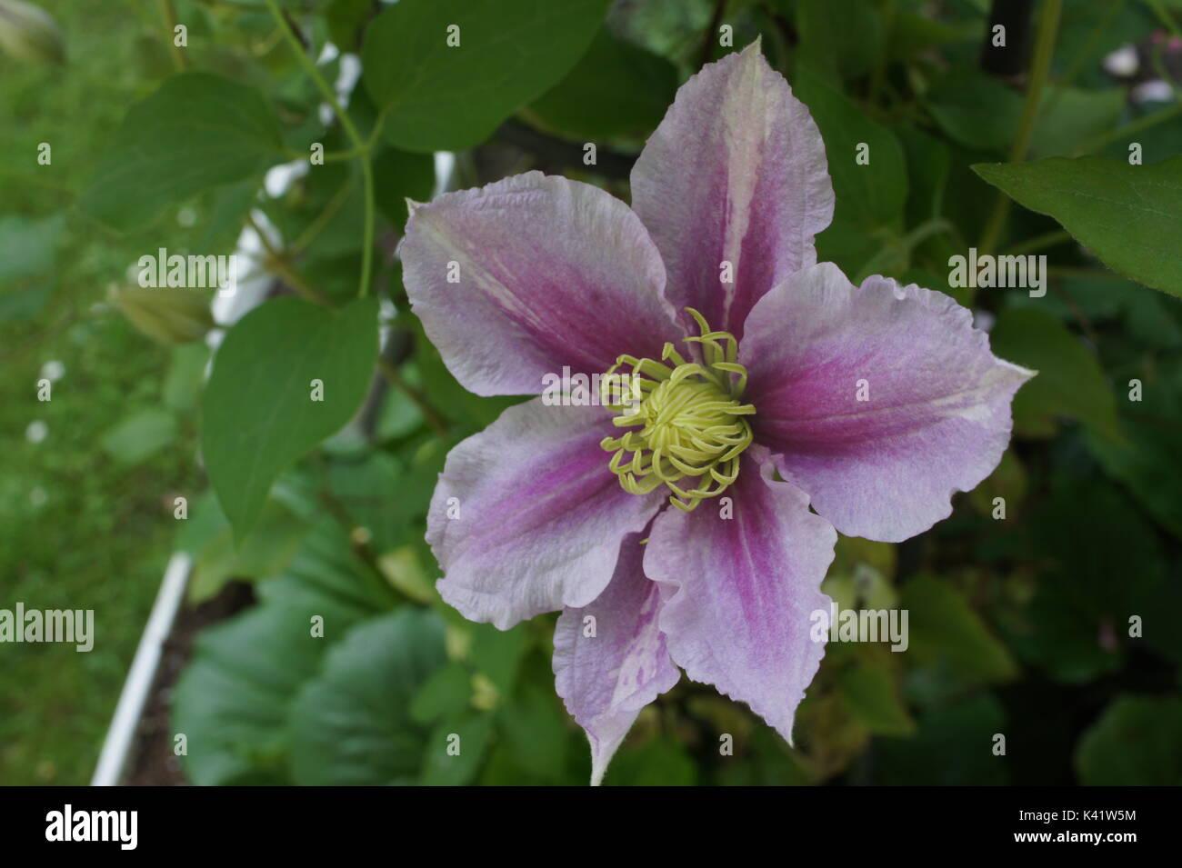 white clematis flower blossom stock photos amp white