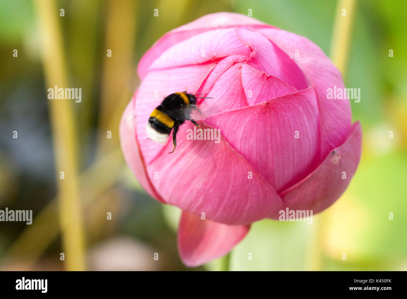 Bee on lotus flower bud stock photo 157462135 alamy bee on lotus flower bud izmirmasajfo