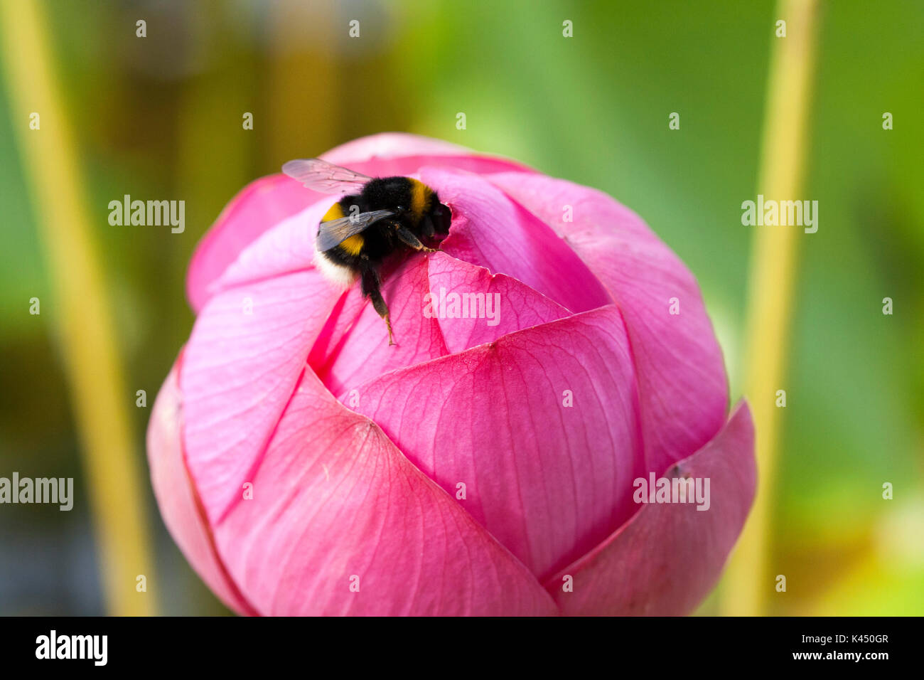 Bee on lotus flower bud stock photo 157462167 alamy bee on lotus flower bud izmirmasajfo