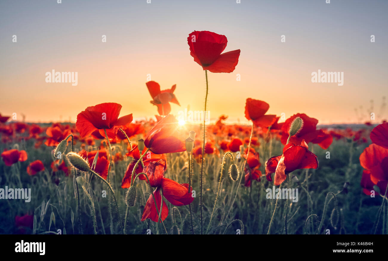 Red Poppy Flowers Field Getafe Community Of Madrid Spain Stock
