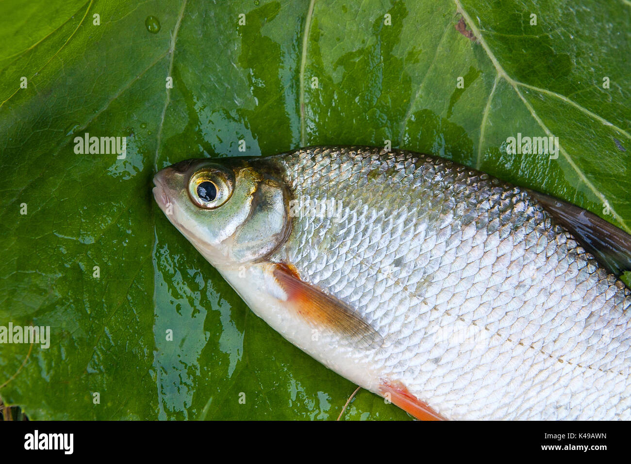 We have in stock frozen salted minnows year round - Close Up View Of The Just Taken From The Water Freshwater White Bream Or Silver Fish