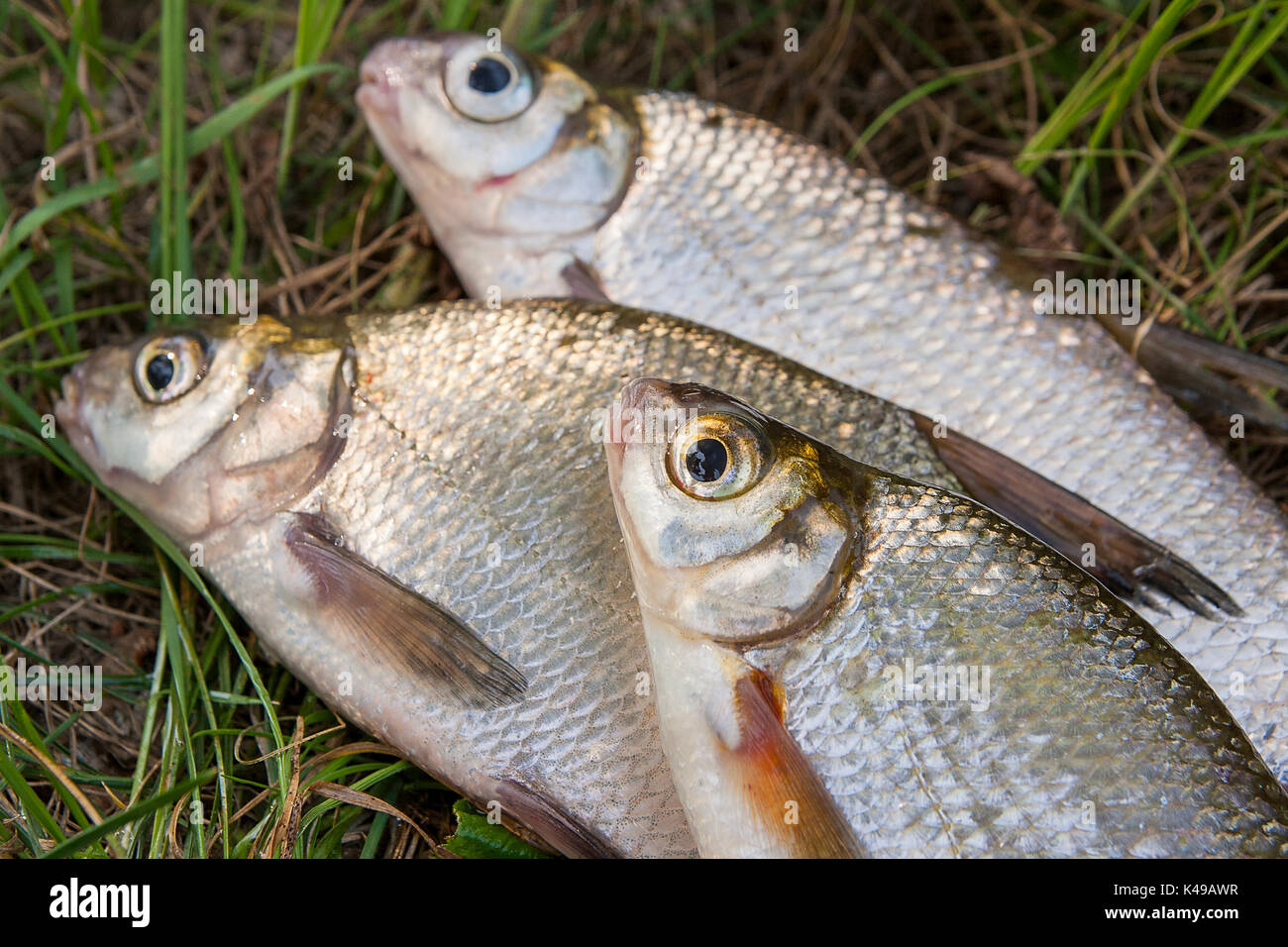 We have in stock frozen salted minnows year round - Several Just Taken From The Water Freshwater Common Bream Known As Bronze Bream Or Carp Bream