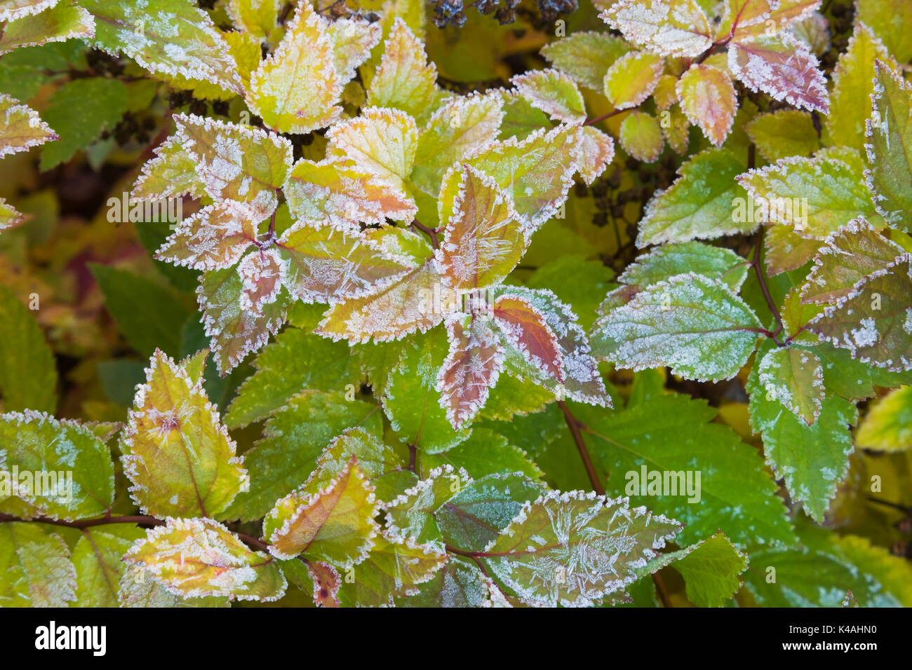 Autumn garden frost stock photos autumn garden frost stock leaves covered with early morning frost in autumn canada stock image buycottarizona Images