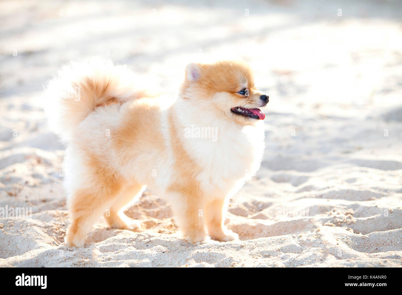 Pomeranian Dog On The White Sands Has It Has White And Brown Color