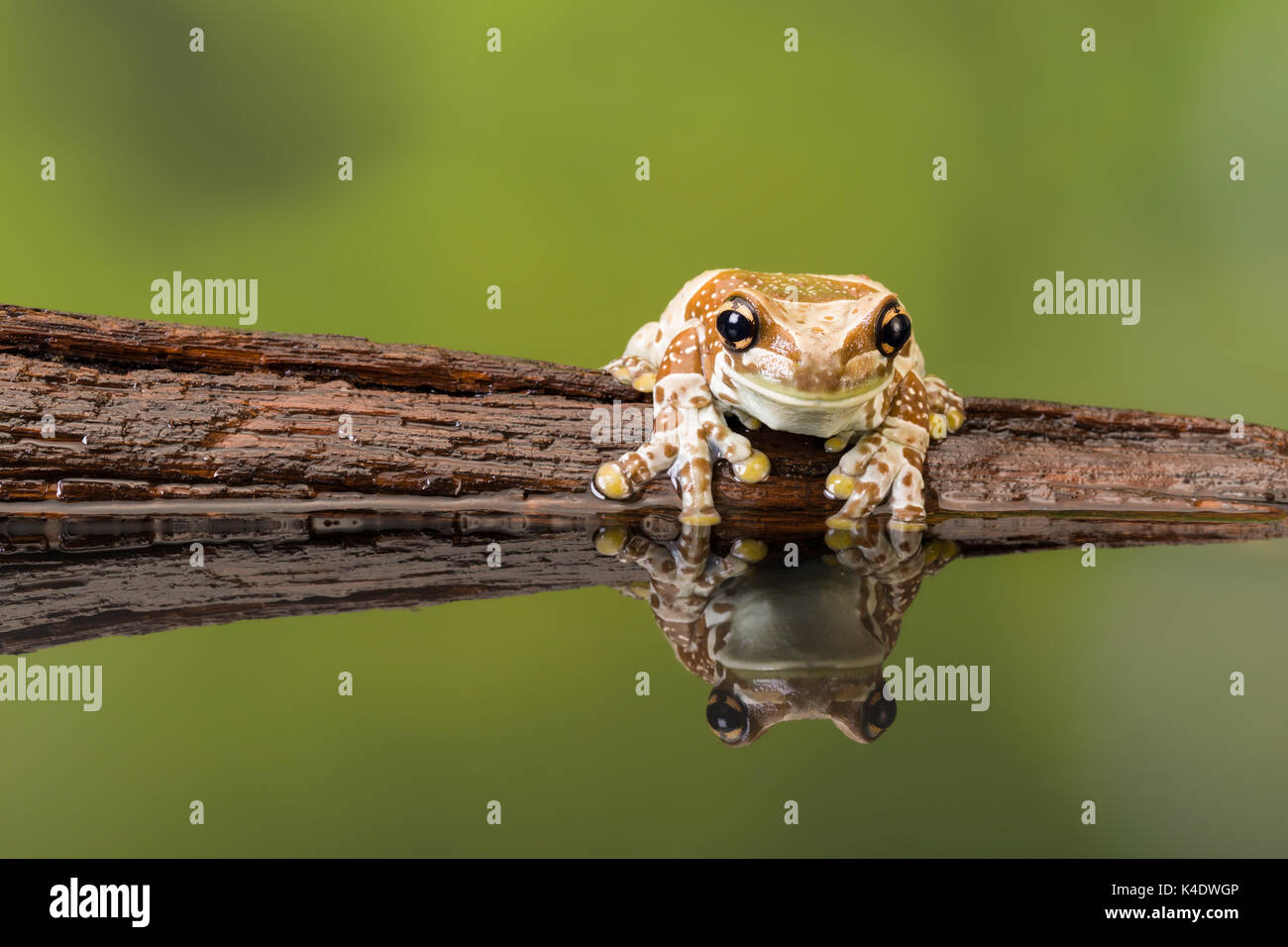 Amazon milk frog Mission Golden-eyed Treefrog Stock Photo, Royalty ...