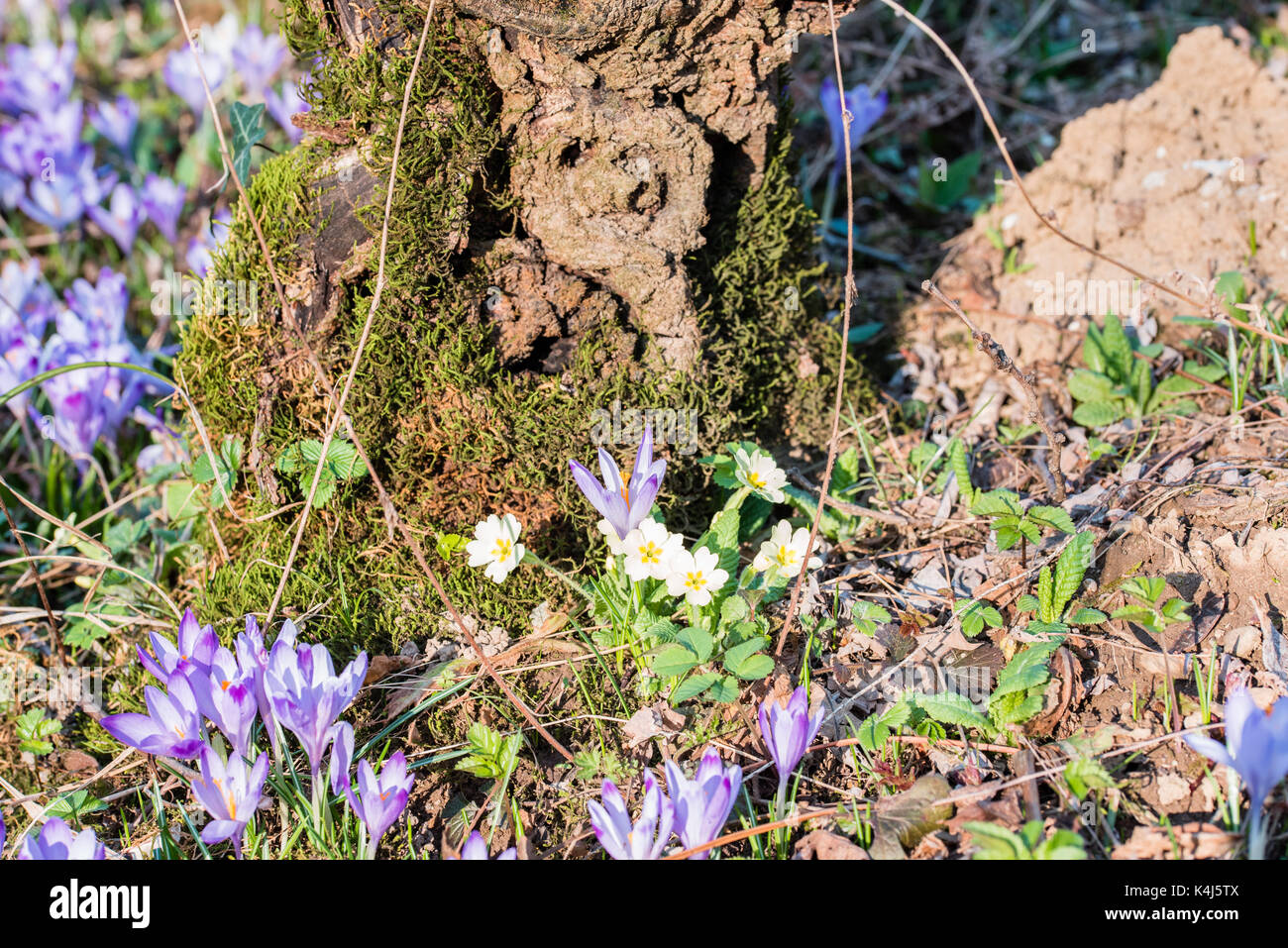 Chestnut Curls And Spring Flowers In The Undergrowth Crocus And