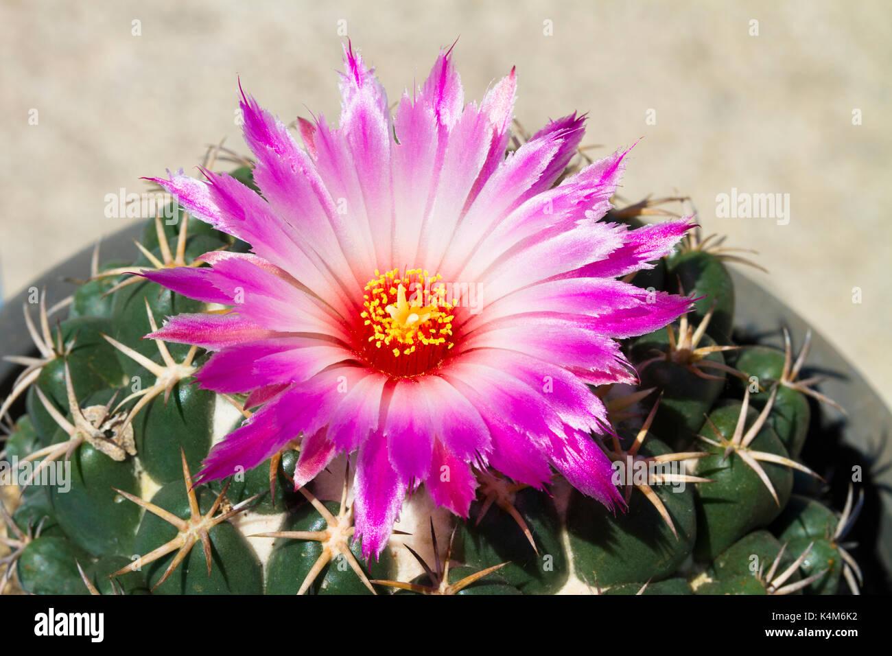 Macro Of Pink Cactus Flower Is Bloom In The Botanic Garden Stock