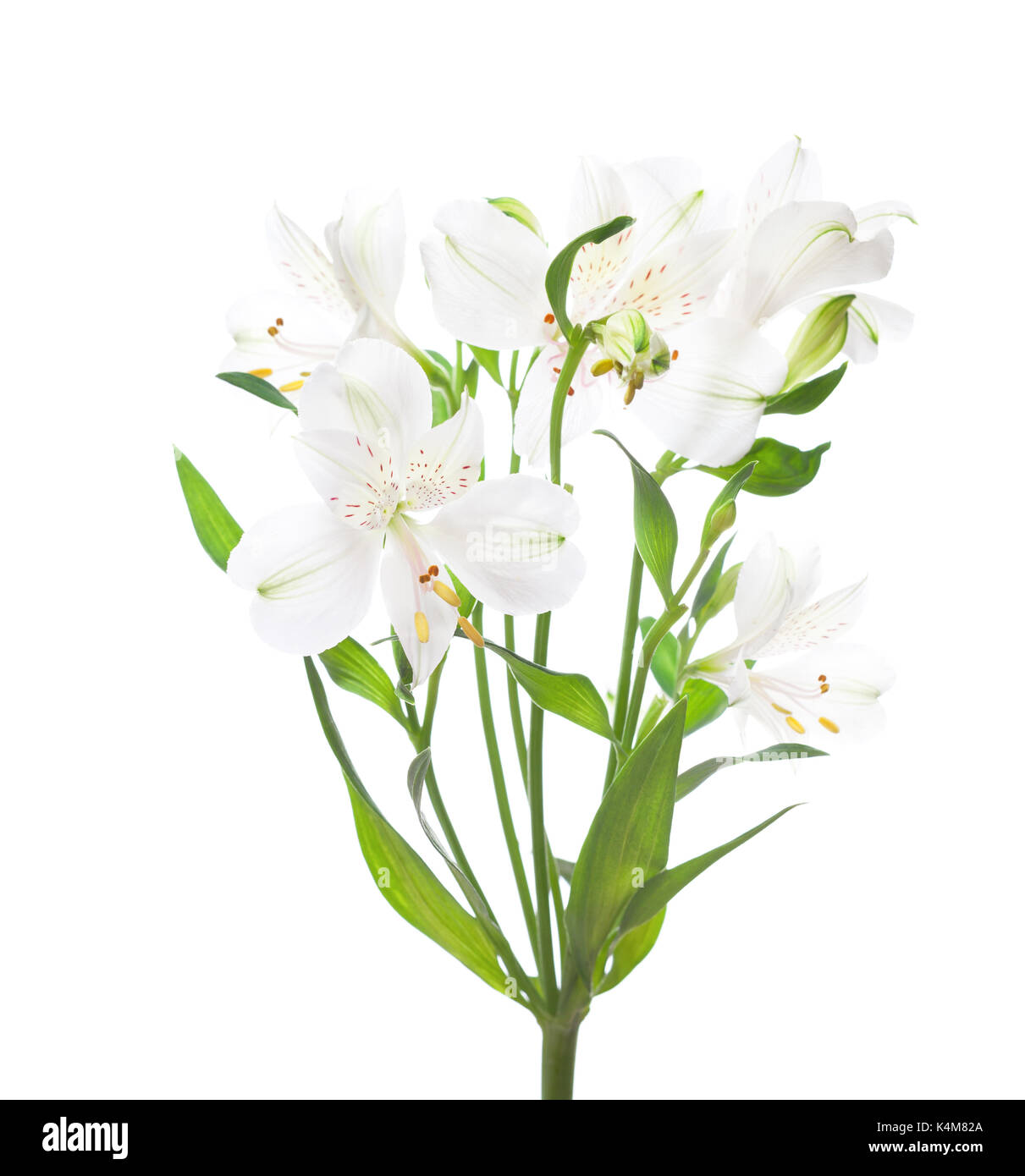 White alstroemeria flowers isolated on white background stock photo white alstroemeria flowers isolated on white background mightylinksfo Gallery