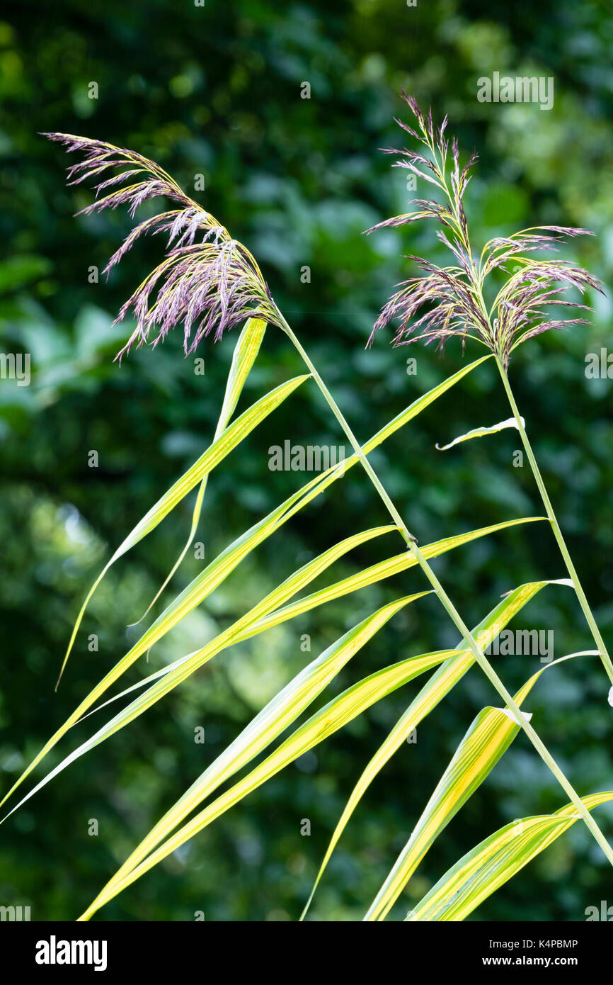 Yellow variegation produces bright before late summer flowers in the yellow variegation produces bright before late summer flowers in the tall grass miscanthus x giganteus gilt edge mightylinksfo