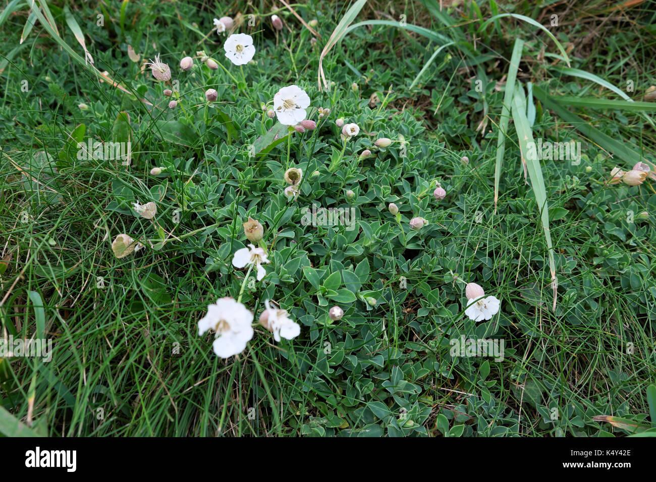 Sea Campion Or Silene Uniflora Low Growing White Wildflower Growing