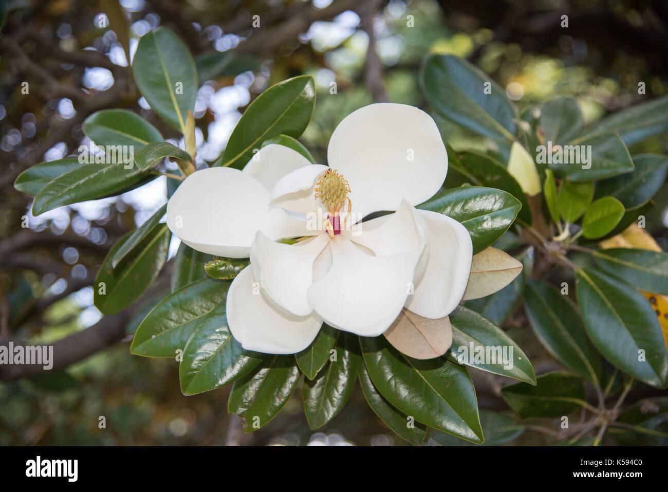 Closeup of bull bay magnolia tree with white flower during closeup of bull bay magnolia tree with white flower during springtime in sydney australia mightylinksfo