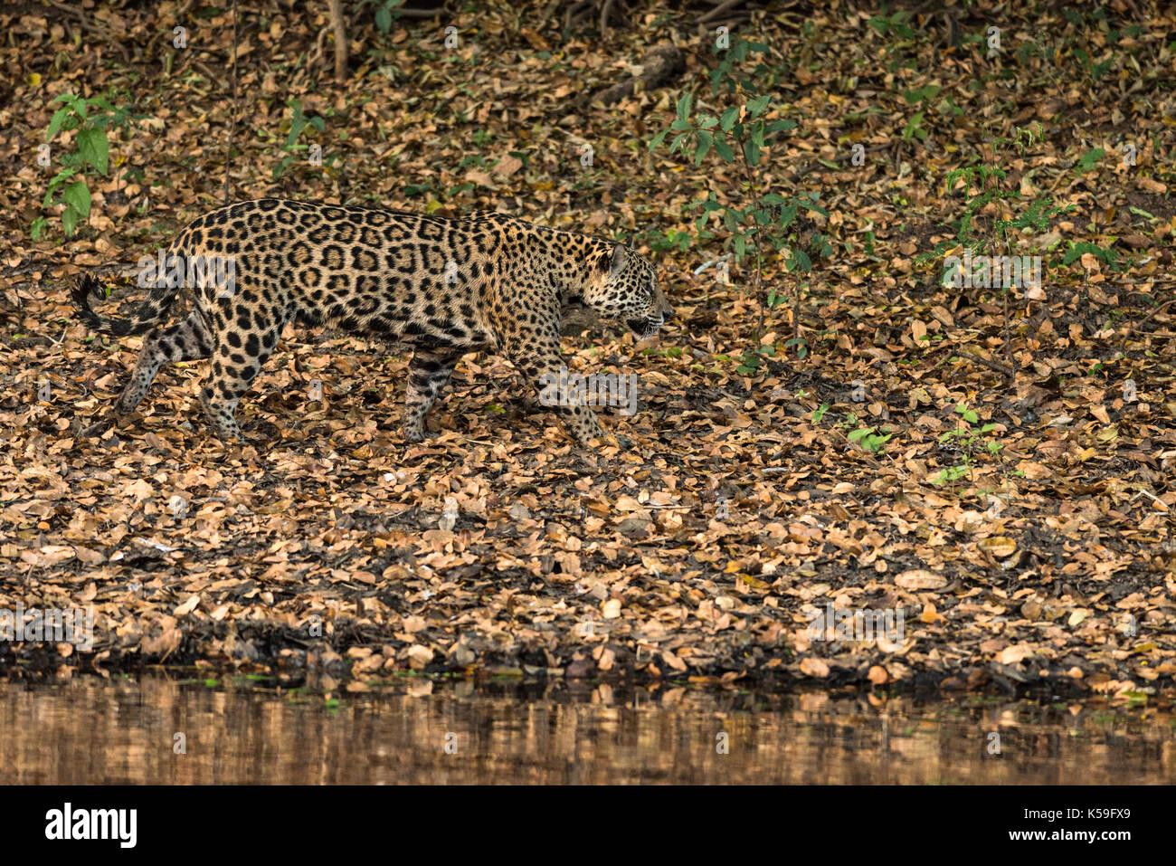 Jaguar camouflage