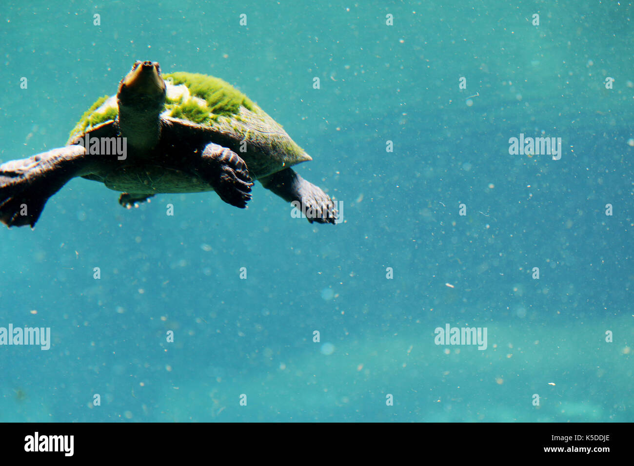 algae and aquatic turtles relationship