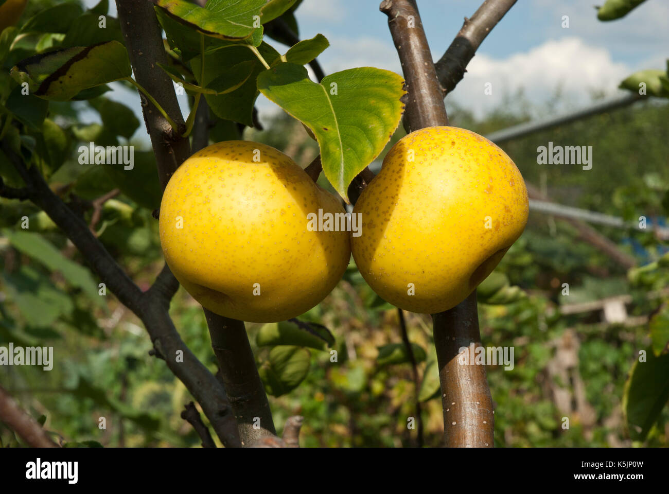 Shinko asian pear edible landscaping - Two Ripe Yellow Chinese Asian Pears Growing On A Branch Stock Image